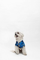 A Maltipoo wearing a traditional Chinese Cheongsam