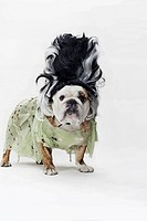 An English Bulldog in costume as the bride of Frankenstein