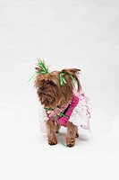A Yorkshire Terrier wearing a pink fairy costume