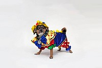 A mixed Chihuahua wearing a brightly colored clown costume
