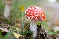 Fly agaric mushroom Amanita muscaria