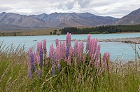 Lupine flowers growing on the bank of Lake Te Anau, New Zealand