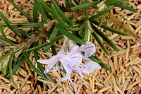 rosemary flower and dried leaves