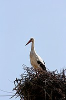 stork on the nest