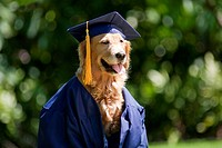 Hawaii, Golden Retriever wearing graduation cap and gown