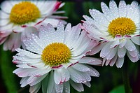 Close_up of white and pink bellis with raindrops