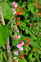 Garden runner beans growing on hazel wigwam, interplanted with sweet peas for effect and to attract pollinating insects, Engand, July