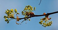 Maple tree blossom on sky background