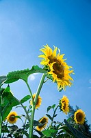 Beautiful sunflowers growing in the field on a background of blue sky