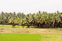 View of lush green farms and coconut trees