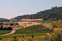 Late summer vineyard on a hillside in Southern France