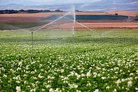 Potato growing field, Irrigation by sprinkler, Agricultural fields, High Ribera, Arga-Aragon Ribera, Navarre, Spain