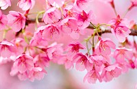Prunus ´Kursar´, Cherry