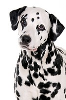 Dalmatian, male dog, 8 years old