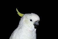Parrot, Lat. Cacatua galerita triton, isolated on a black backgr