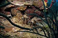 Spiny lobsters, Roatan, Bay Islands, Honduras, Caribbean, Central America