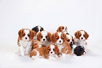 Cavalier King Charles Spaniel, puppies, tricolour and blenheim
