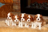 Cavalier King Charles Spaniel, puppies, blenheim, 5 weeks