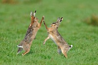 Fighting hares, Holland, Netherlands