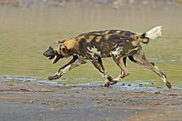 African wild dogs at Lake Masek in the Serengeti, Tanzania