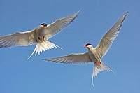 Arctic terns fighting over the rookery, Nothern Germany.