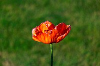 Poppy Flower in Bloom