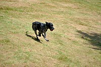 Dog running in grass field