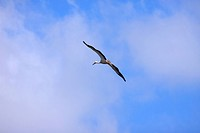 large stork flying in a blue sky