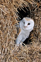 Barn Owl Tyto alba _ England, Great Britain, Europe