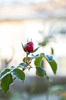 Frosted rose bud
