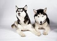 Sledge dog
