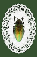 Green beetle on doily