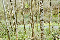 Alder tree trunks, Alnus glutinosa, Wales
