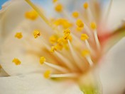 Almond tree Prunus dulcis flower and stamens