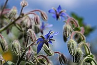 Borage (Borago officinalis), flowers and buds, Baden-Wuerttemberg, Germany, Europe