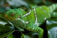 A close view of an iguana.