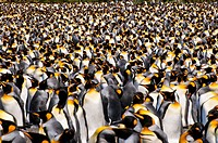 A colony of king penguins as far as the eye can see.