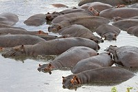Hippos bunch together in the water of the Great Ruaha River.