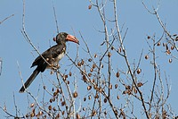 A crowned hornbill, Tockus alboterminatus, sits at the top of a tree.