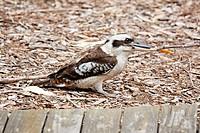 Kookaburra auf Fraser Island