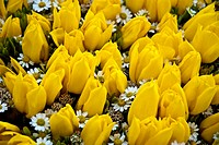 Beautiful flower yellow tulips