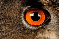 Close_up of an Eurasian Eagle Owl eye _ Bubo bubo 15 years old