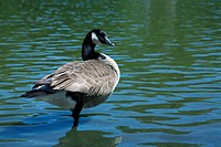 Canada goose standing in a pond