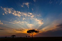 Acacia trees Acacia drepanolobium and sunrise
