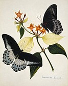 Indian butterflies and flowers. Butterflies feeding on Mussaenda speciosa flowers. This watercolour is plate 66 from one of a set of three volumes by ...