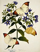 Indian butterflies and flowers. Butterflies feeding on blue gentian Gentiana sp. flowers. This watercolour is plate 63 from one of a set of three volu...