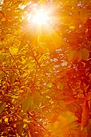 Sunburst through autumn leaves