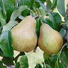 Ripening Pears Pyrus communis ´Vereinsdechant´.
