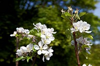 Blossom on a ´Discovery´ apple tree