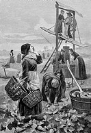 Radish harvest. 19th_century artwork of workers harvesting radishes on a farm near the town of Regensburg, Bavaria, Germany. Farmers in this area of G...